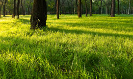 De schaduwen van de ochtend op het gras Stock Fotografie