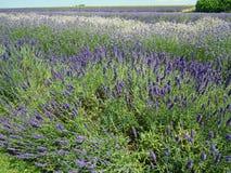 De schaduwen van lavendel Stock Foto