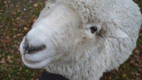 De schapen Royalty-vrije Stock Fotografie