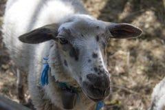 De schapen Stock Fotografie