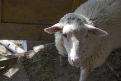 De schapen Royalty-vrije Stock Afbeeldingen