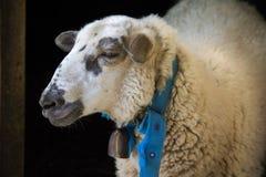 De schapen Stock Afbeeldingen