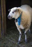 De schapen Royalty-vrije Stock Afbeelding