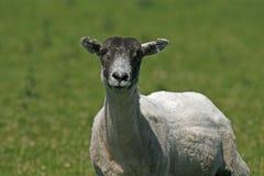 De schapen in Bodmin leggen, Cornwall vast Royalty-vrije Stock Foto's