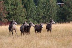 De schapen die van Bighorn links looing. Royalty-vrije Stock Afbeelding