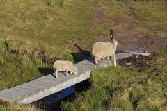 De schapen die van de moeder haar krassen terug op een post Royalty-vrije Stock Foto