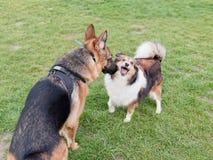 De schapen die van Shetland bij Duitse herdershond schreeuwen wanneer grote probeert om haar, grappige uitdrukking te snuiven stock foto