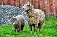 De schapen en de babylam van de moeder royalty-vrije stock afbeeldingen