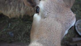 De schapen en het kalf bekijken kader stock footage