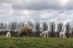 De schapen en de lammeren weiden stock afbeelding