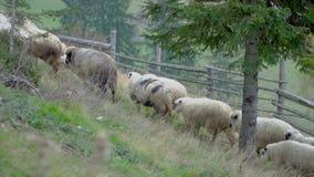 De schapen gaan weiden stock videobeelden