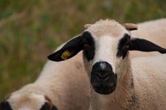 De schapen in het weidegras het gras en de blikken net in de camera stock foto's