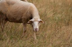 De schapen in het weidegras het gras en de blikken net in de camera stock fotografie