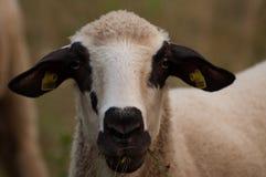 De schapen in het weidegras het gras en de blikken net in de camera stock afbeeldingen