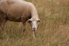 De schapen in het weidegras het gras en de blikken net in de camera royalty-vrije stock afbeelding