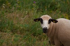 De schapen in het weidegras het gras en de blikken net in de camera stock foto