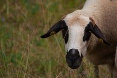 De schapen in het weidegras het gras en de blikken net in de camera royalty-vrije stock foto's