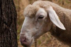 De schapen in het weidegras het gras en de blikken net in de camera royalty-vrije stock afbeeldingen