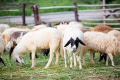 De schapen op groen gras eten gras in landbouwbedrijf, een wollig schaap op een groen gebied royalty-vrije stock afbeeldingen