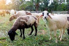 De schapen op groen gras eten gras in landbouwbedrijf, een wollig schaap op een groen gebied royalty-vrije stock fotografie