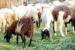De schapen op groen gras eten gras in landbouwbedrijf, een wollig schaap op een groen gebied royalty-vrije stock afbeelding