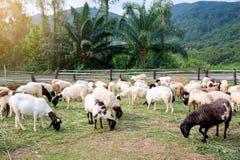 De schapen op groen gras eten gras in landbouwbedrijf, een wollig schaap op een groen gebied stock foto's