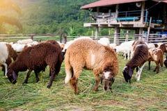 De schapen op groen gras eten gras in landbouwbedrijf, een wollig schaap op een groen gebied royalty-vrije stock foto