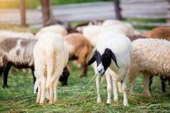 De schapen op groen gras eten gras in landbouwbedrijf, een wollig schaap op een groen gebied royalty-vrije stock foto's
