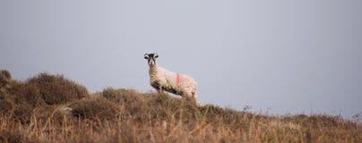 De schapen op leggen tegen horizon vast stock foto's