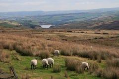 De schapen op Saddleworth leggen vast Royalty-vrije Stock Afbeelding