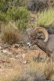 De Schapen Ram Eating van het woestijnbighorn royalty-vrije stock fotografie