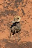 De Schapen Ram Head On van het woestijnbighorn Stock Foto