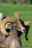 De Schapen Ram Portrait van het woestijnbighorn Stock Foto's