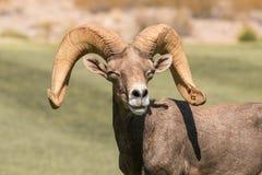 De Schapen Ram Portrait van het woestijnbighorn Stock Afbeeldingen
