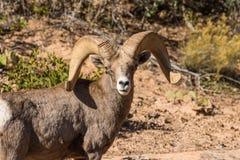 De Schapen Ram Portrait van het woestijnbighorn Stock Foto