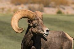 De Schapen Ram Side Portrait van het woestijnbighorn Stock Afbeeldingen