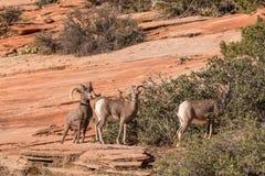De Schapen Rutting van het woestijnbighorn Royalty-vrije Stock Afbeeldingen