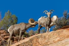 De Schapen Rutting van het woestijnbighorn Royalty-vrije Stock Foto's