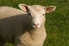 De schapen sluiten (omhoog detail) portret Stock Afbeeldingen