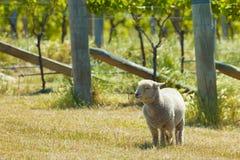 De schapen van Babydoll Stock Fotografie