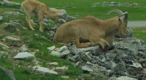 De schapen van Barbarije stock foto's