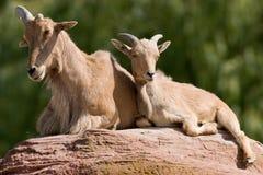 De schapen van Barbarije stock afbeeldingen