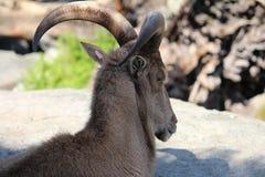 De schapen van Barbarije Stock Fotografie