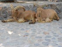 De schapen van Barbarije Royalty-vrije Stock Foto's