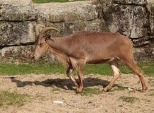 De schapen van Barbarije, lervia Ammotragus stock afbeelding