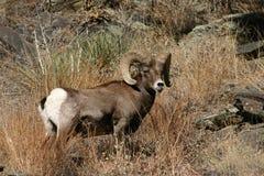De schapen van Bighorn Stock Foto's