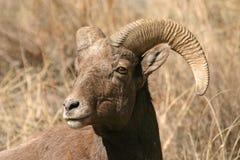 De schapen van Bighorn Royalty-vrije Stock Afbeeldingen