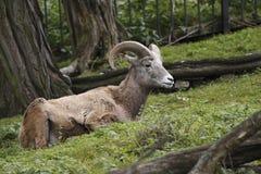 De schapen van Bighorn Stock Fotografie