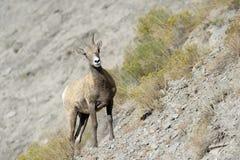 De schapen van Bighorn Royalty-vrije Stock Foto
