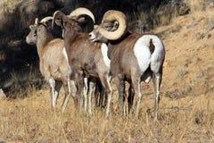 De schapen van Bighorn Stock Afbeeldingen